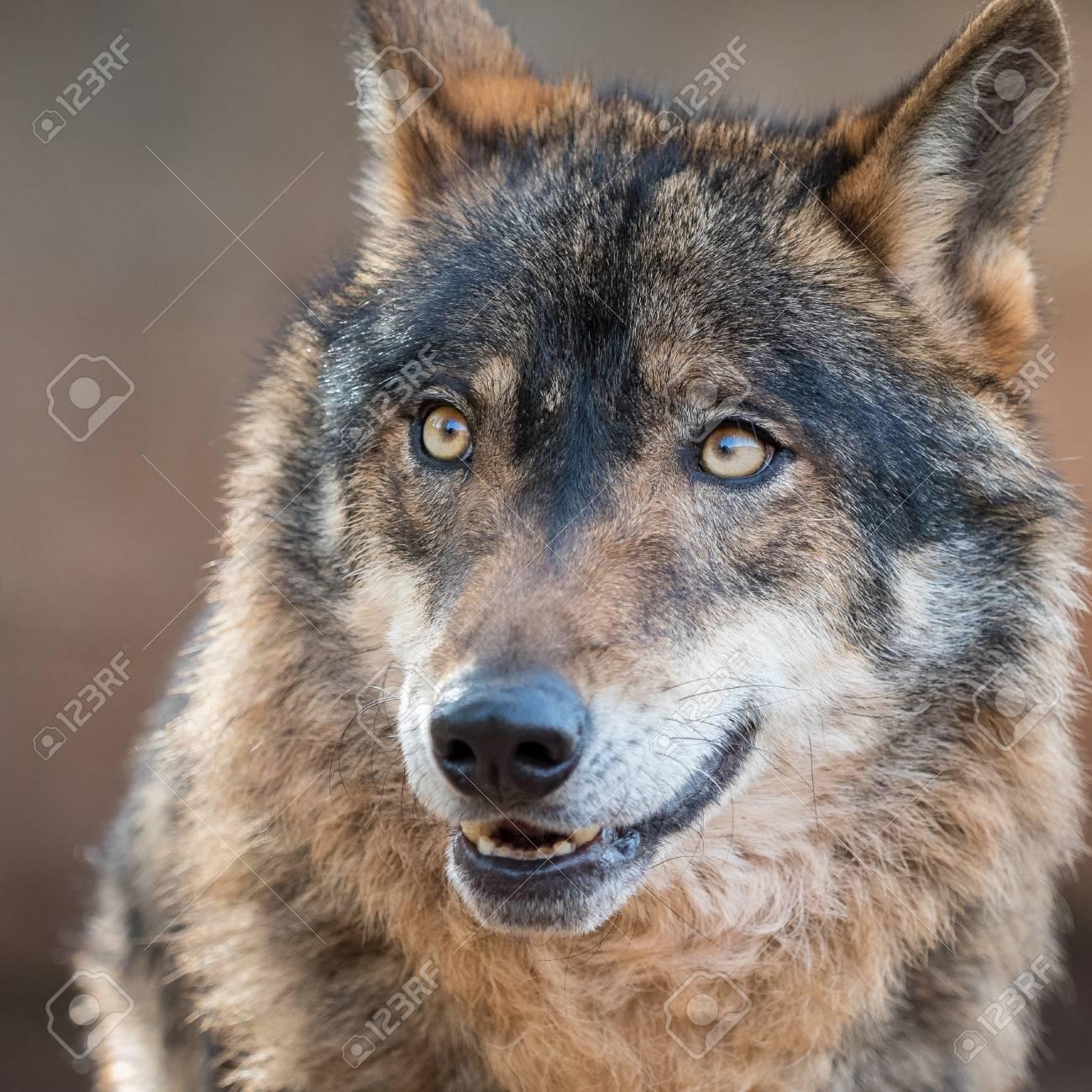 Lindo Retrato De Lobo Ibérico Con Hermosos Ojos Canis Lupus