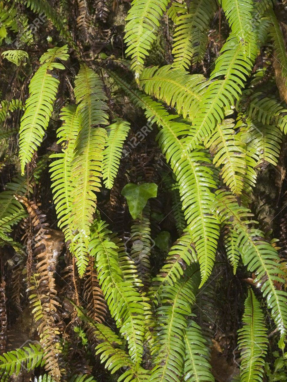 Ferns hanging from a rock wall in the Eume Fragas, Galicia, Spain Stock Photo - 16718440