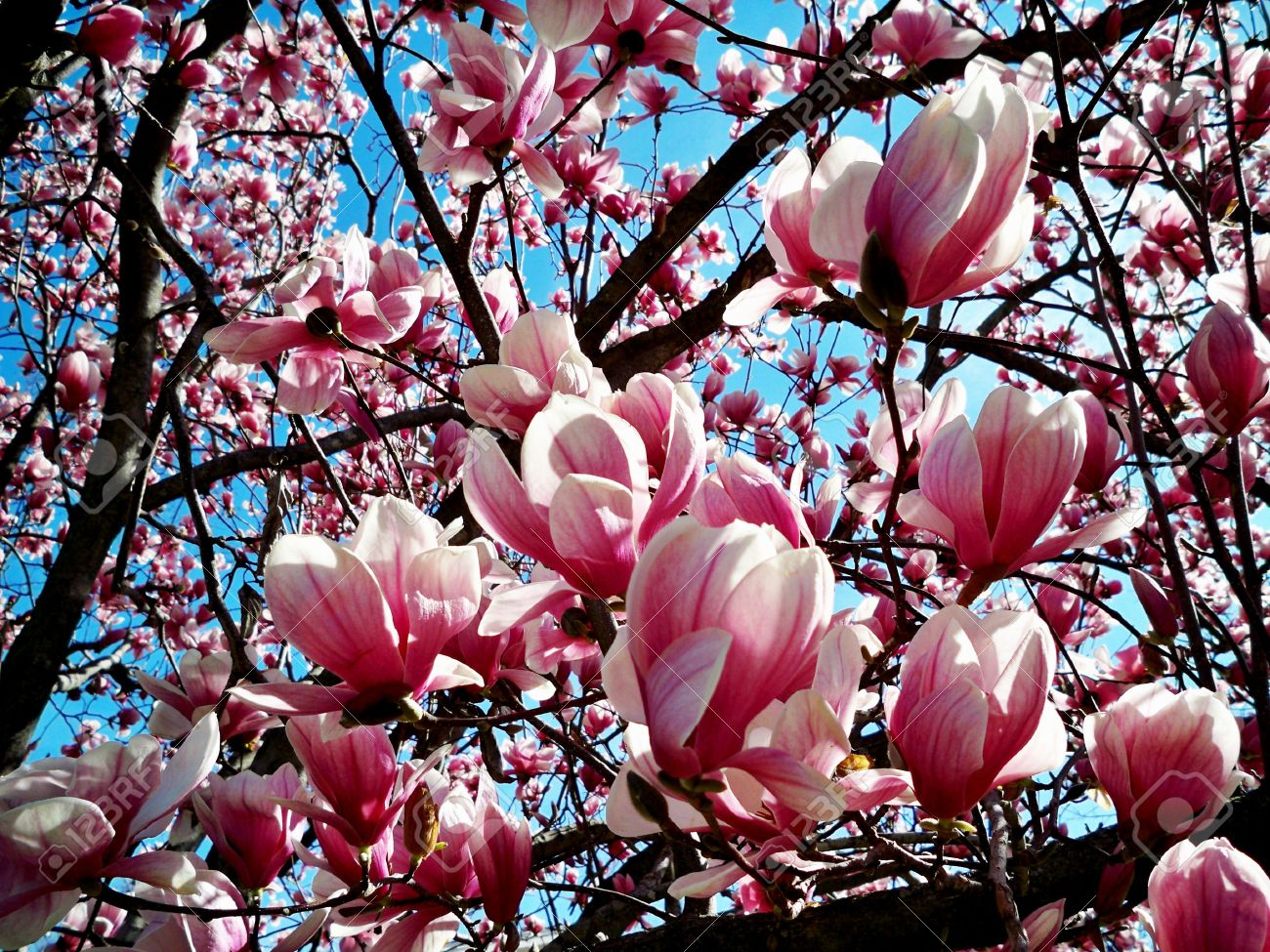 Close Up Of A Pink And Magenta Tulip Tree In Full Bloom