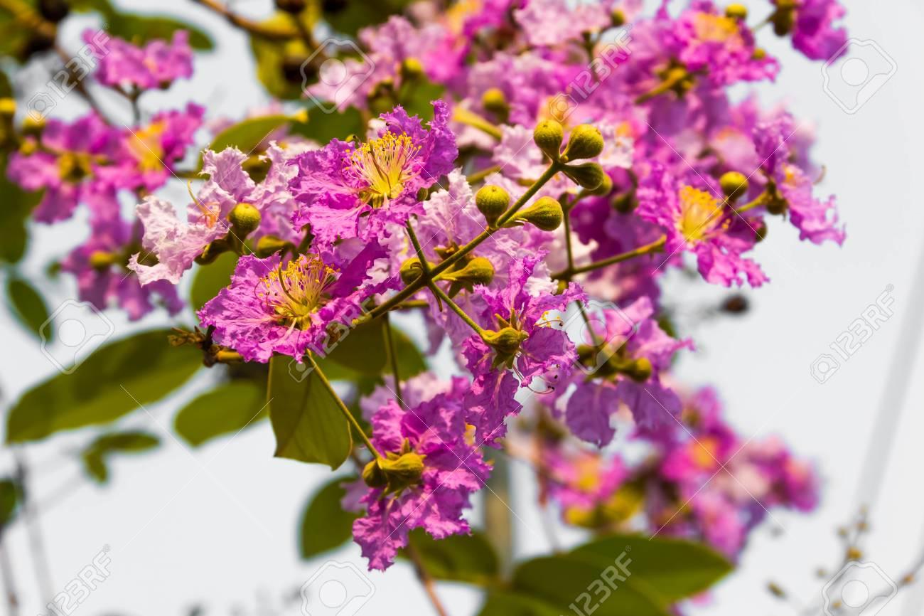 桜やサクラ属の Cerasoides さく...