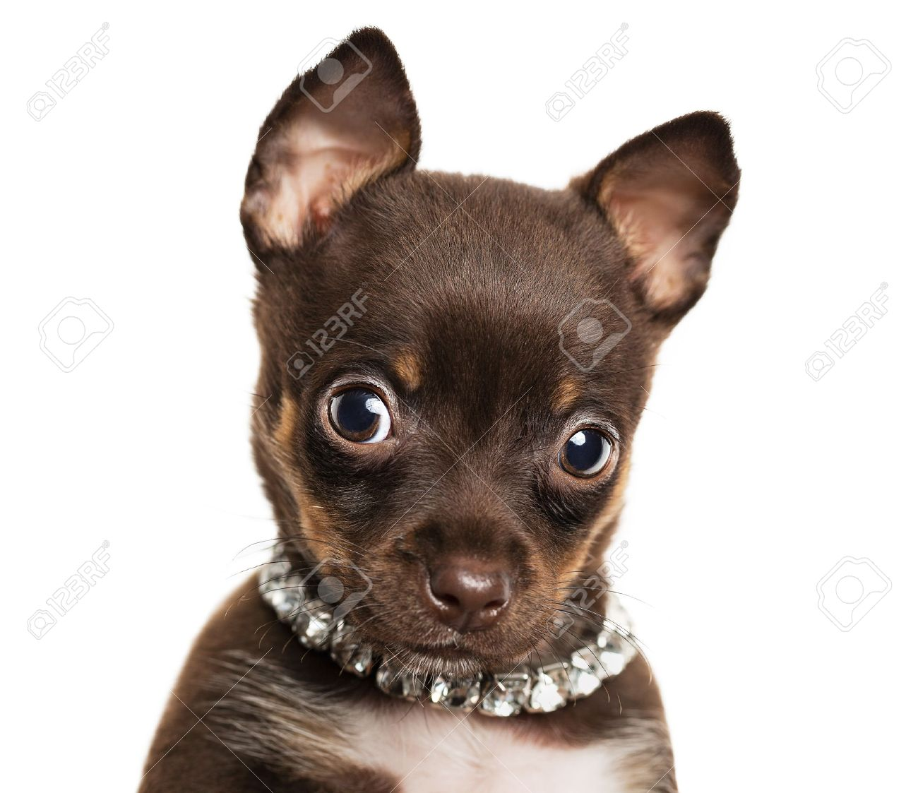 Close up of cute little chihuahua puppy isolated on white background - 21383875