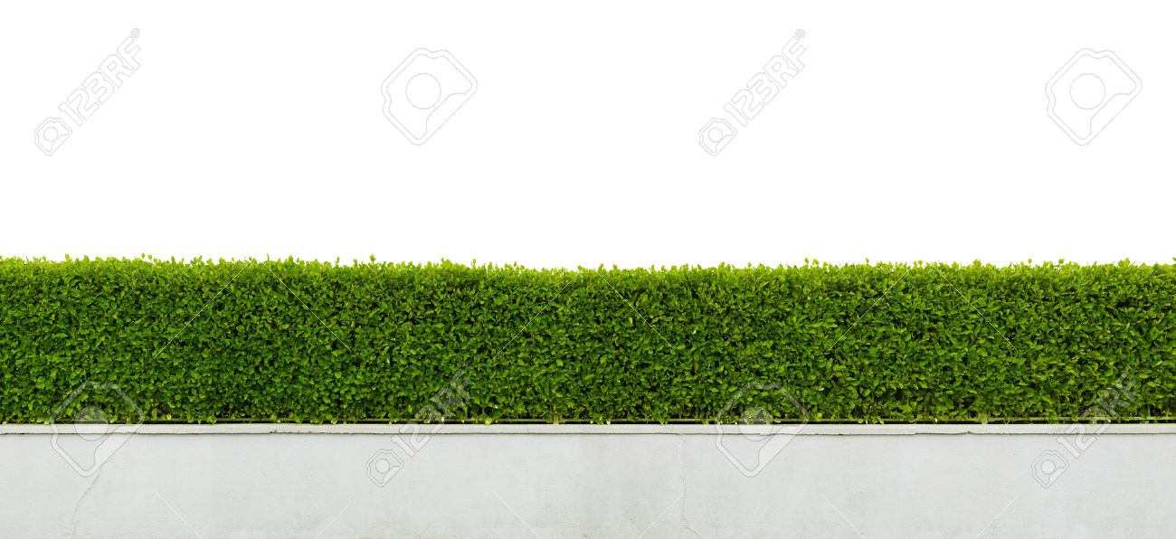 Panoramic view of beautiful hedge fence isolated on white background - 29469030