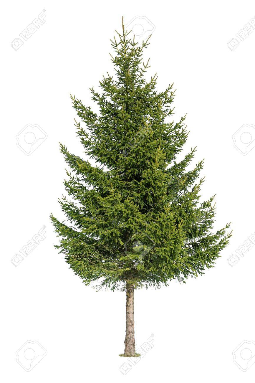 Close up of tree isolated on white background - 36434471
