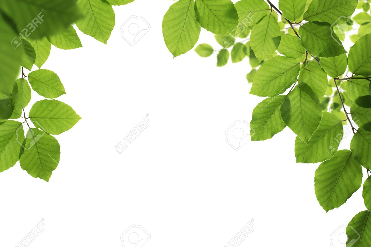 Spring frame, close up of green leaves isolated on white background with copy space - 40343227