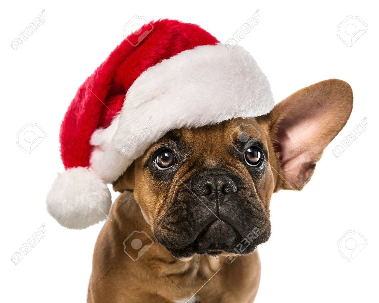 Close up of cute, little french bulldog with santa claus hat isolated on white background - 63299888