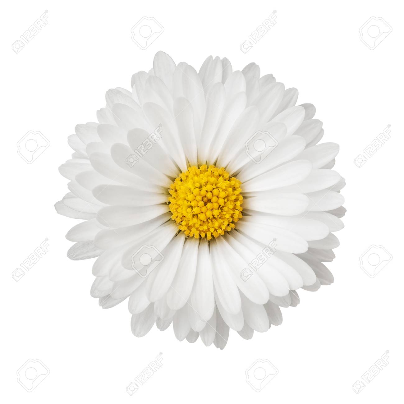 Close up of daisy flower isolated on white background - 121352113