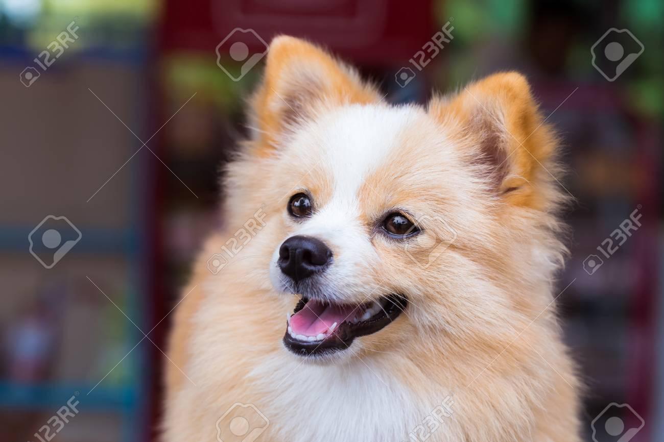 Pomeranian Chihuahua Mix Dog With Brown Sarawasi Standing Looking