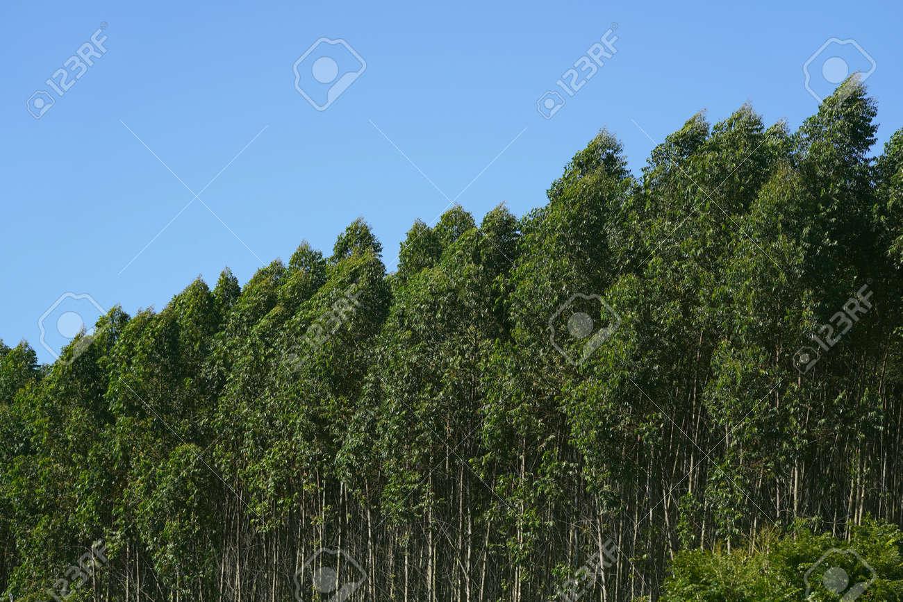 Eucalyptus trees on the blue sky background. - 169100976