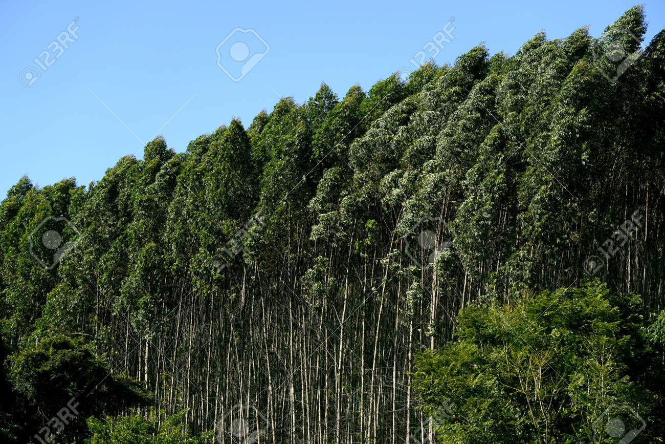 Eucalyptus trees on the blue sky background. - 169100979