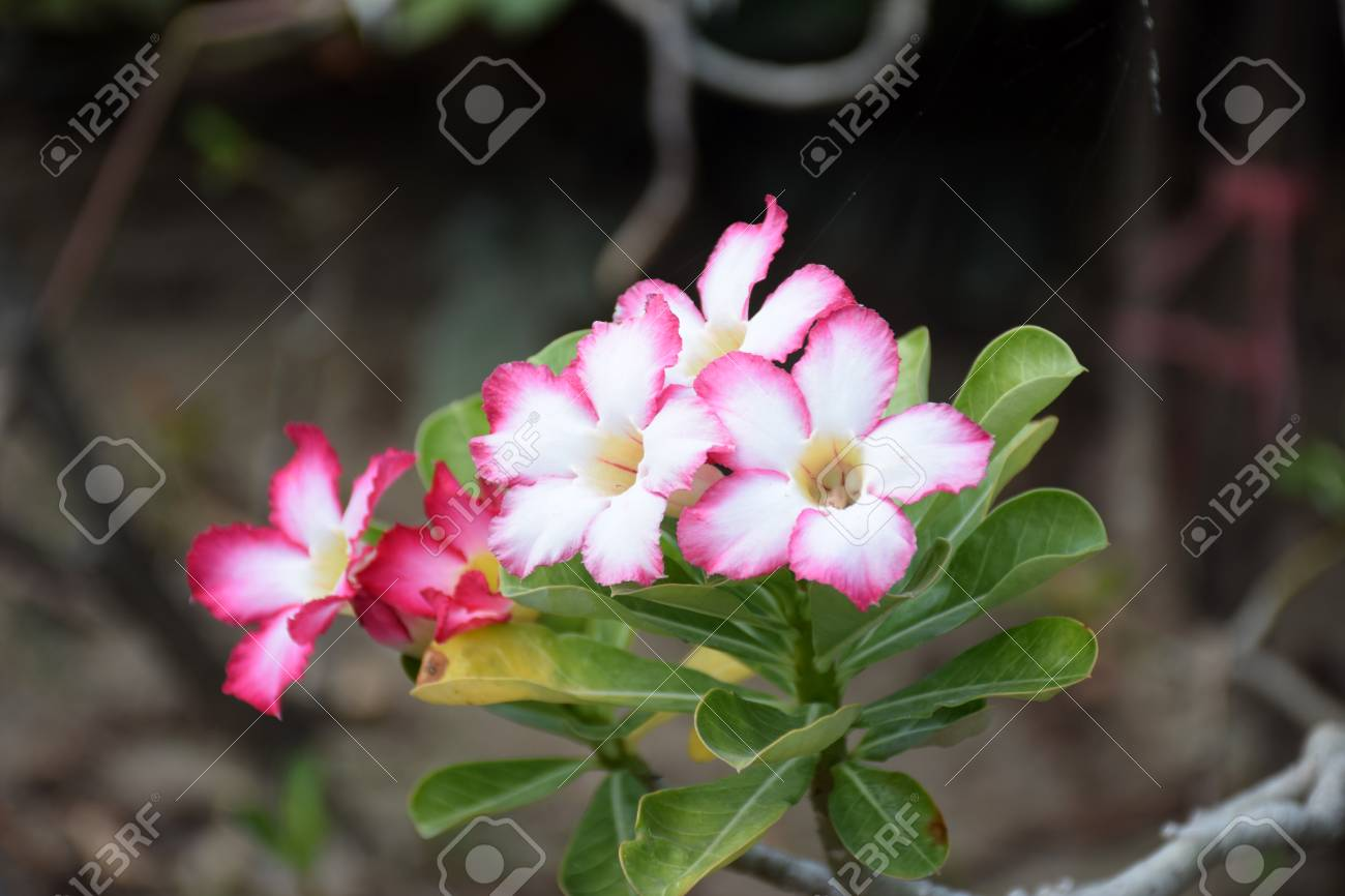Impala lily flowers impala lily desert rose flower from tropical impala lily flowers impala lily desert rose flower from tropical climate rose flower izmirmasajfo