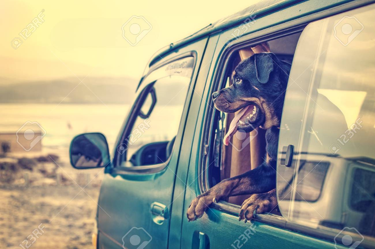 A rottweiler in the window of a van parked on the beach stock photo