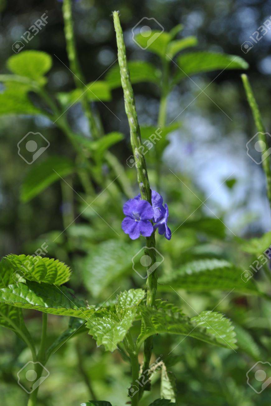 A Common Weed Grows In Malaysia Bushes Stock Photo Picture And
