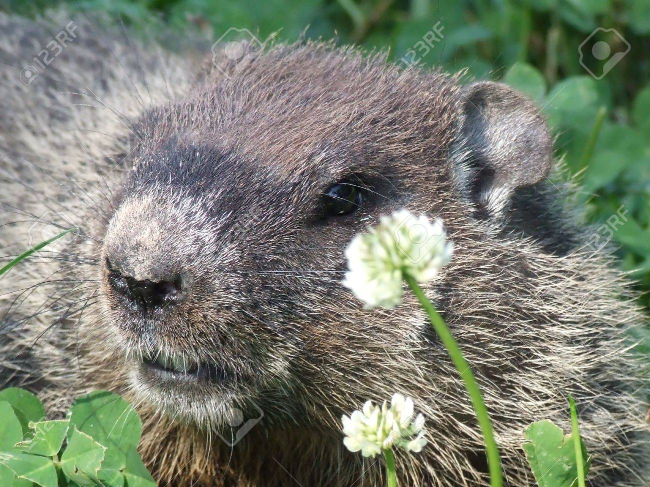 clear close up of woodchuck in clover field Stock Photo - 5149859