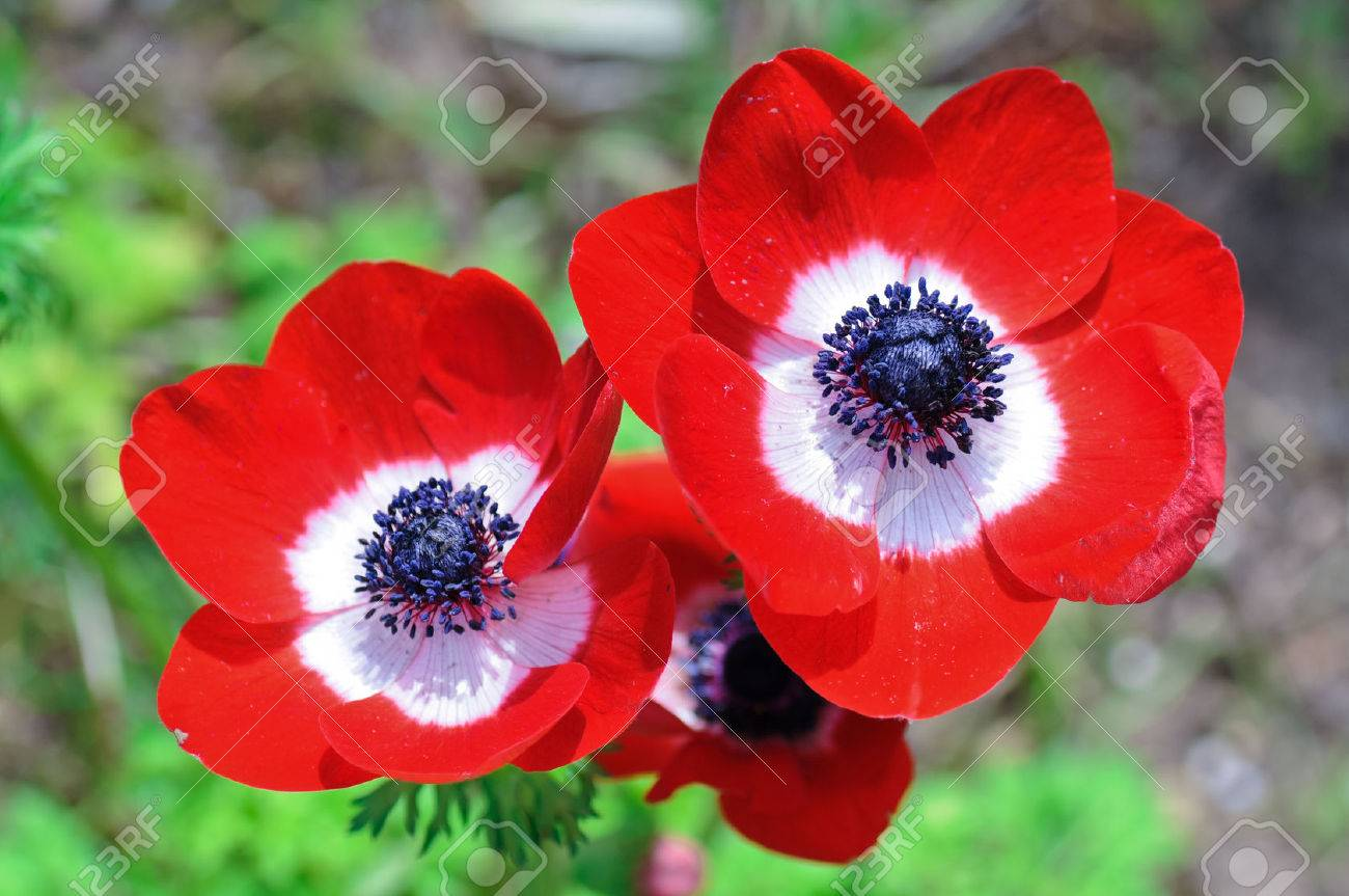 Three flowers of red anemones as spring concept - 39813050