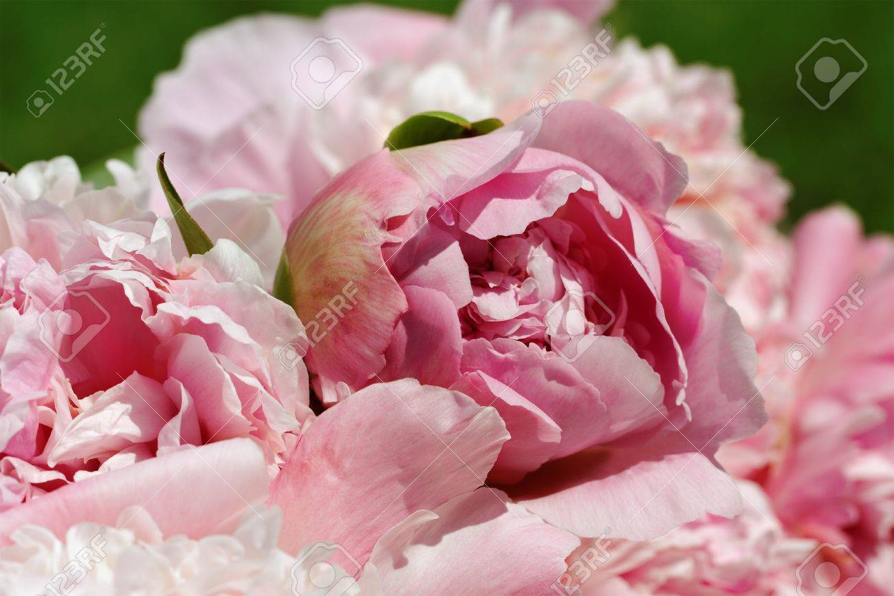 Natural pink peony flowers background - 14578140