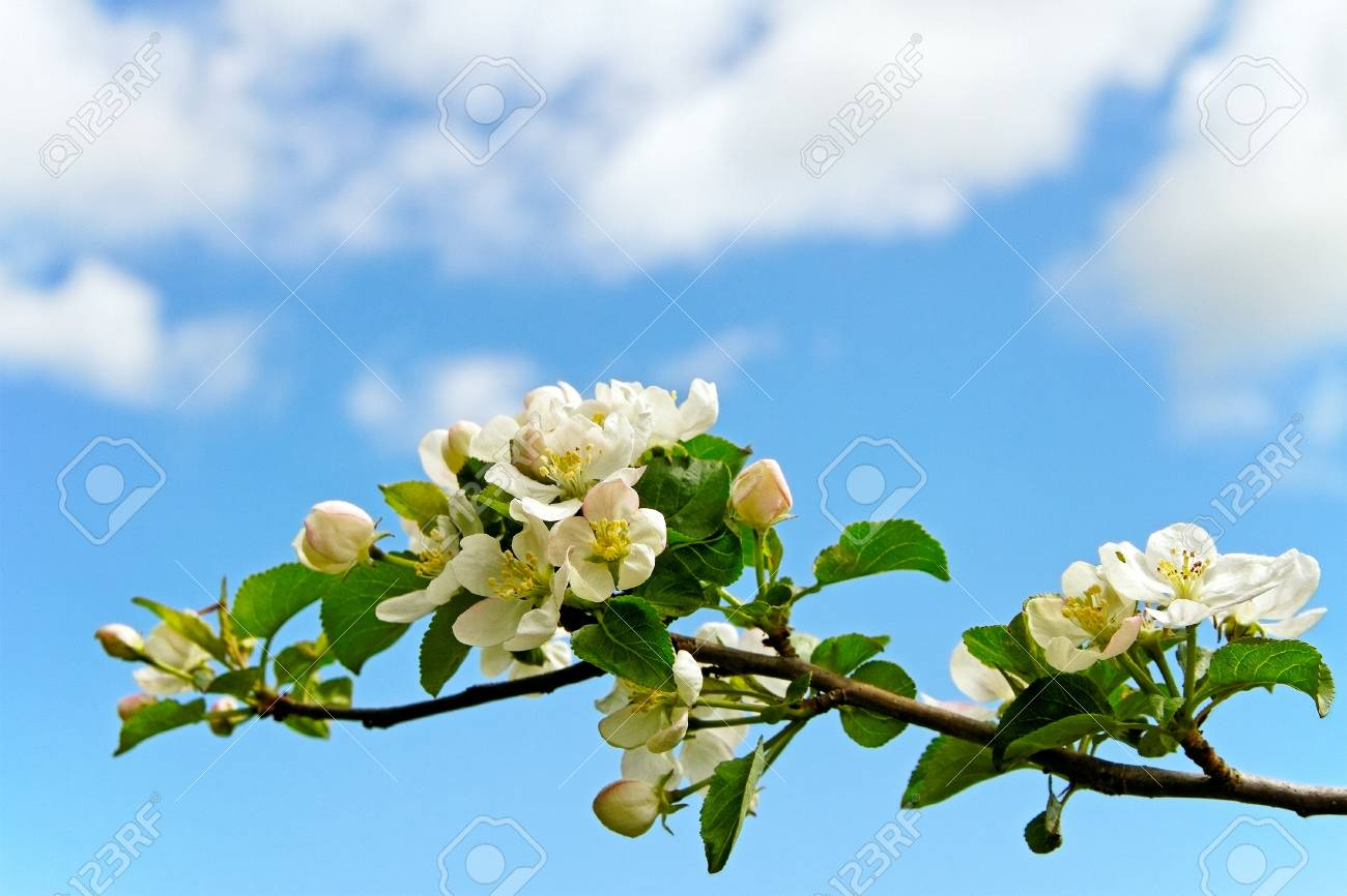 Blossom apple branch on blue sky phon Stock Photo - 18064259