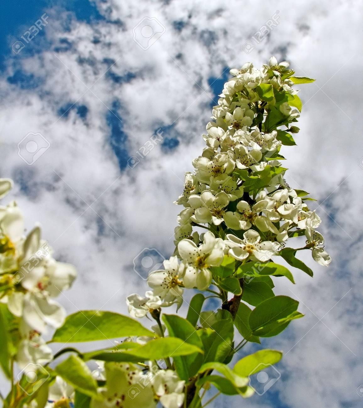 Blossom apple tree on  sky phon Stock Photo - 18049849
