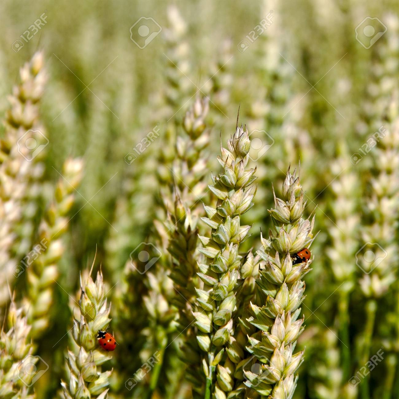 Cultivated land with growing wheat in a summer day Stock Photo - 18344344