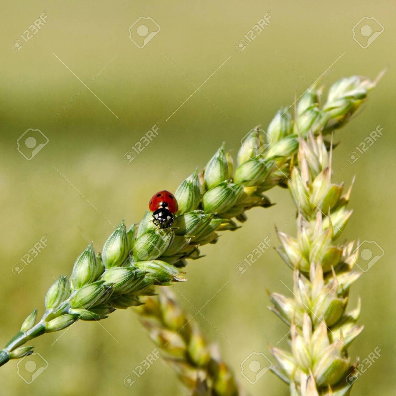 Ladybird on the spike of wheat Stock Photo - 18344330