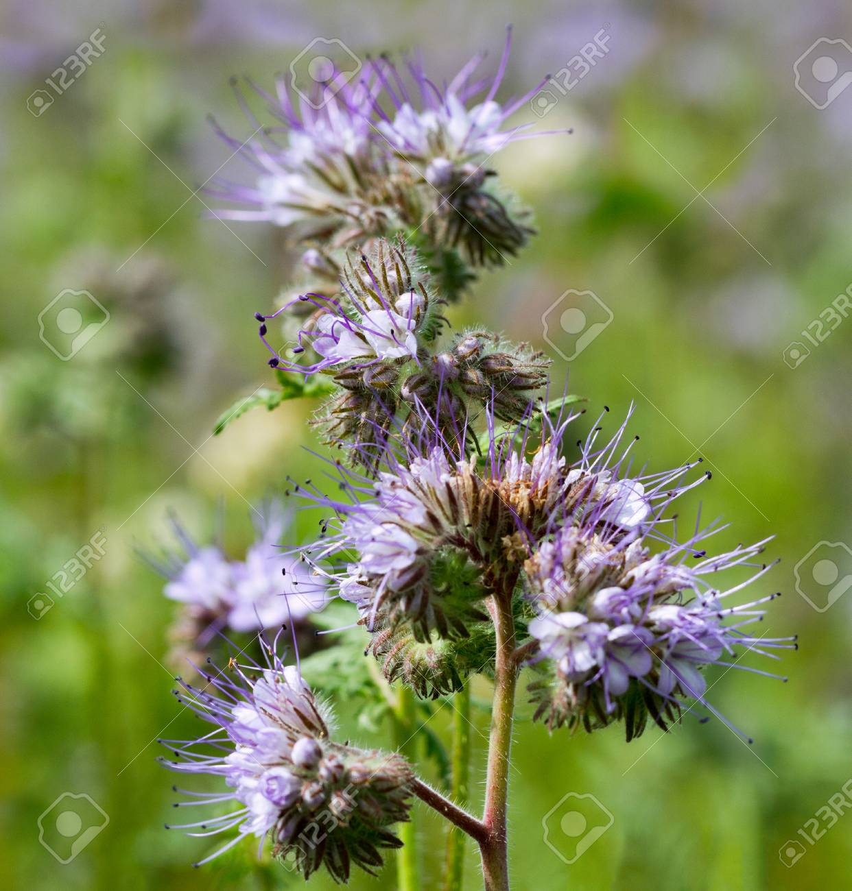 Honey Plant Phacelia On A Field Stock Photo Picture And Royalty