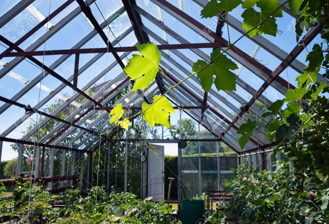 Admirable Natural Small Greenhouse With Tomatoes Plants And Tree Of Vine Interior Design Ideas Philsoteloinfo