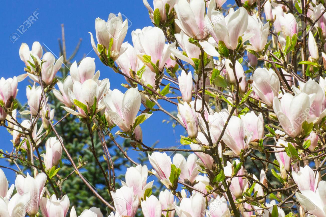 Blooming Colorful Magnolia Flowers In Garden Or Park Springtime
