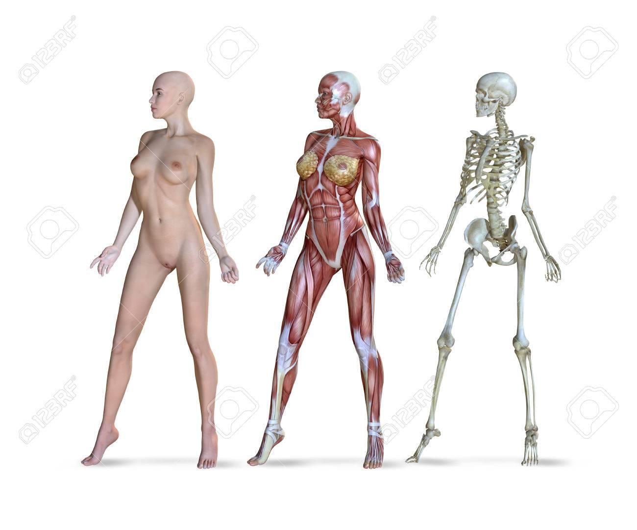 3D-Darstellung Der Weiblichen Anatomie In Drei Verschiedenen ...