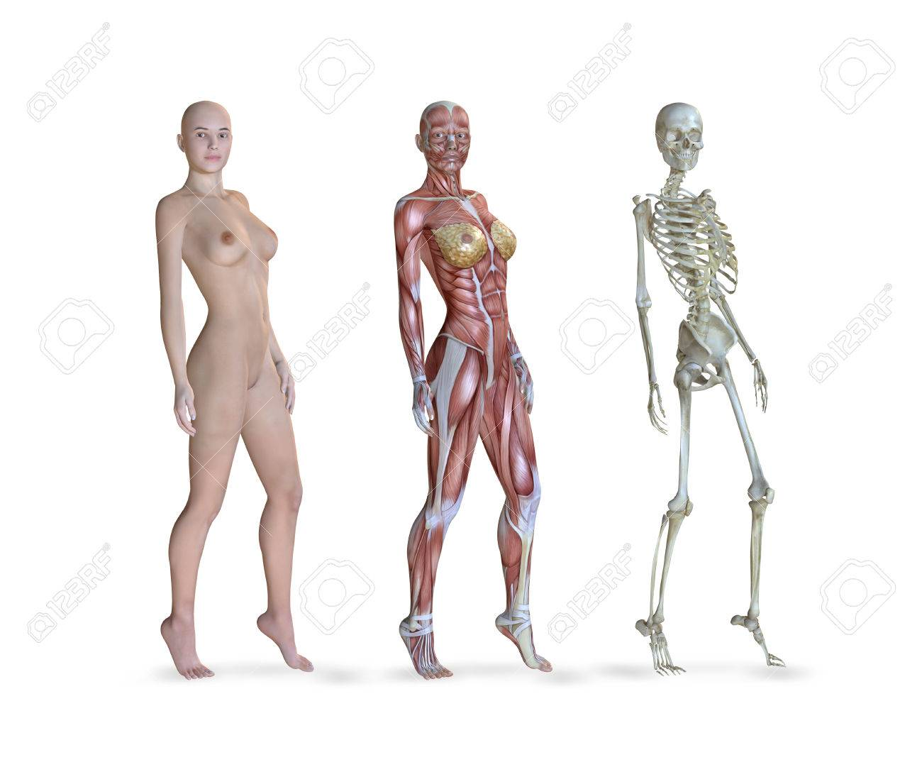 3d Illustration Of The Female Anatomy In Three Different Views