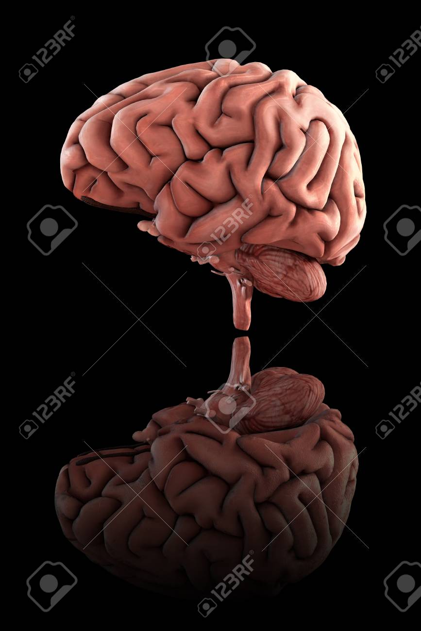 Medically accurate 3d render of the male human brain, with ground reflection - 120432000