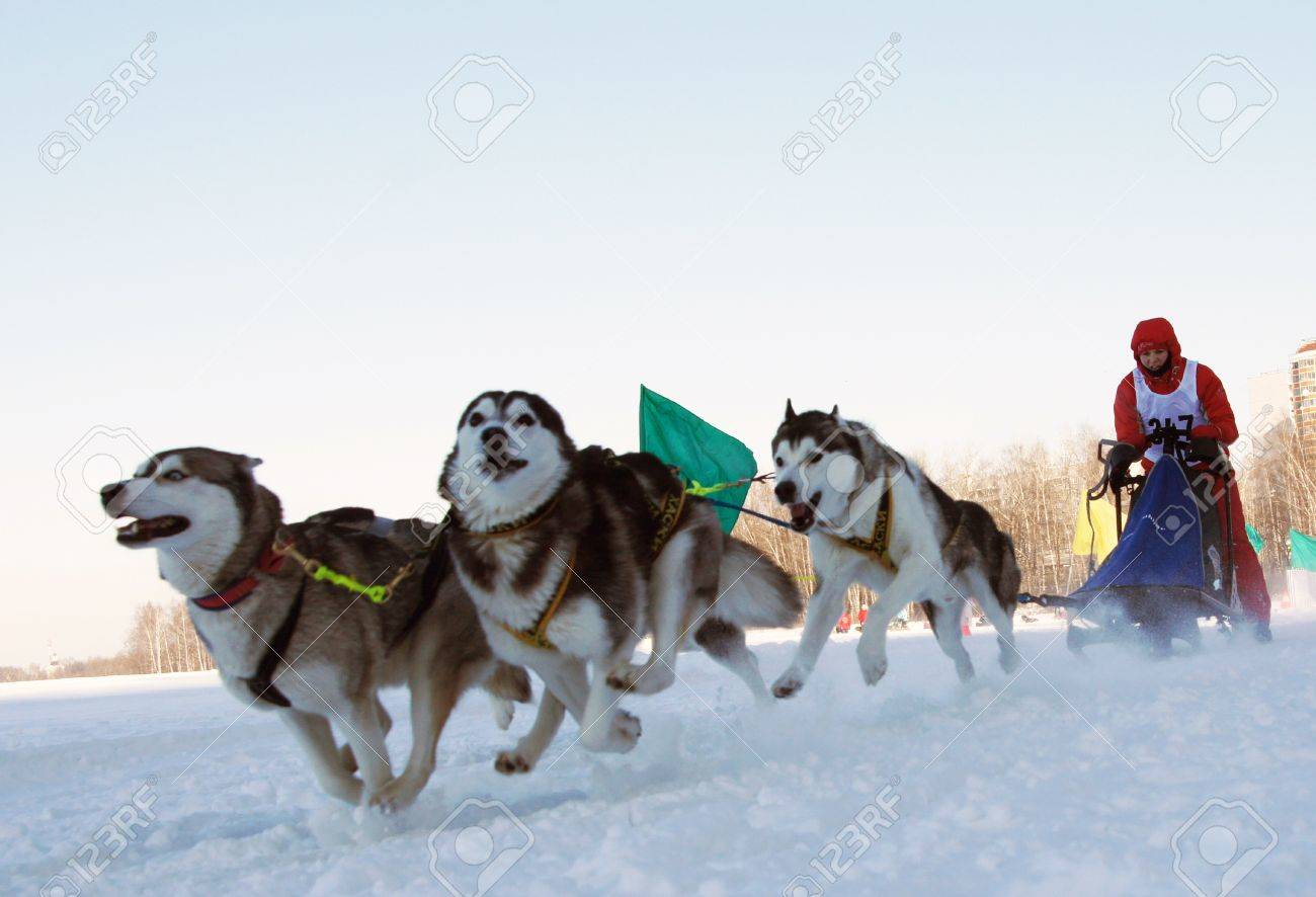 sleigh dog images u0026 stock pictures royalty free sleigh dog photos