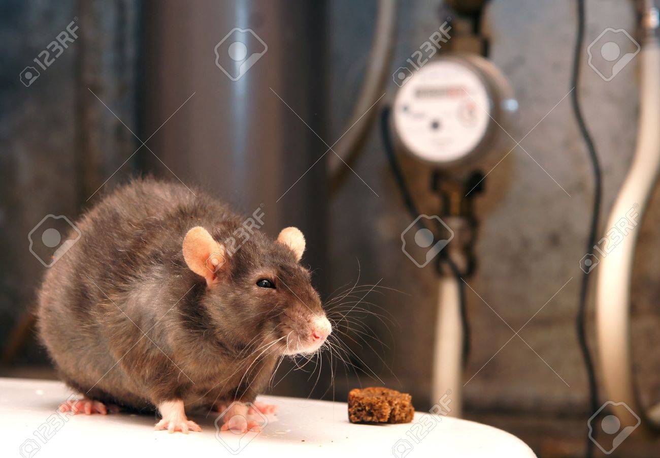 Rat and counters of the water expense Stock Photo - 12413323