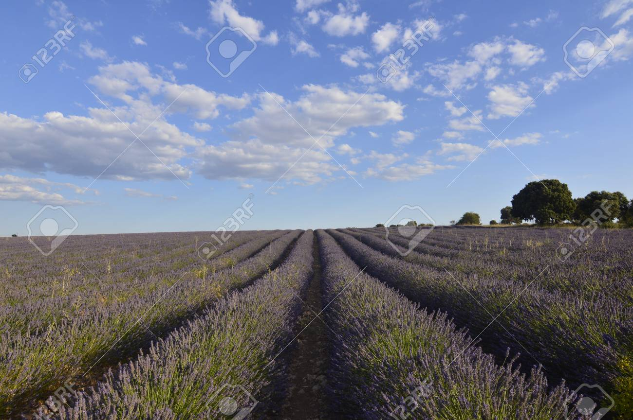 Holm Oak Forest Next To Rows Of Lavender With A Sky With Lovely