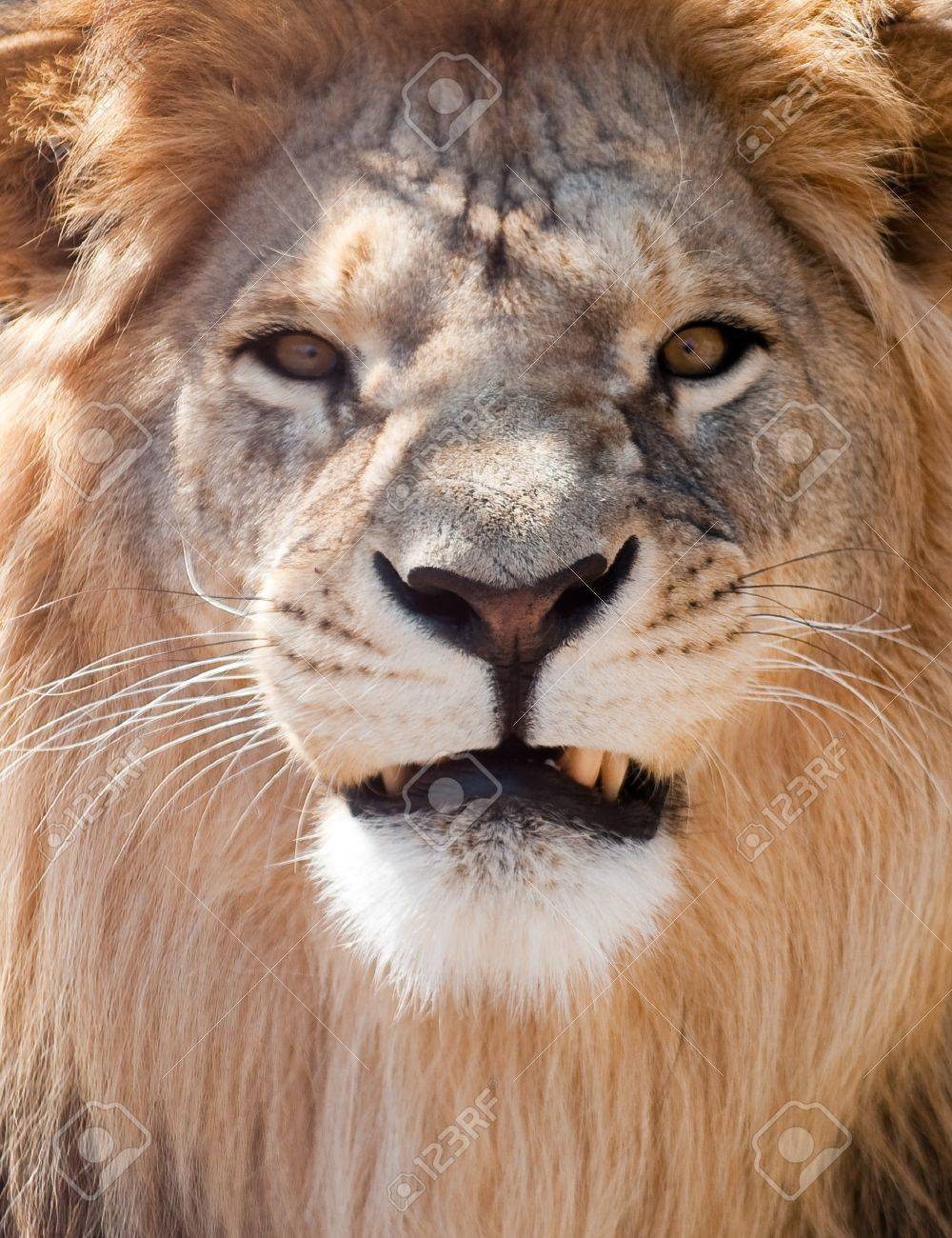 picture of lion of high-res with an artistic background Stock Photo - 7272780