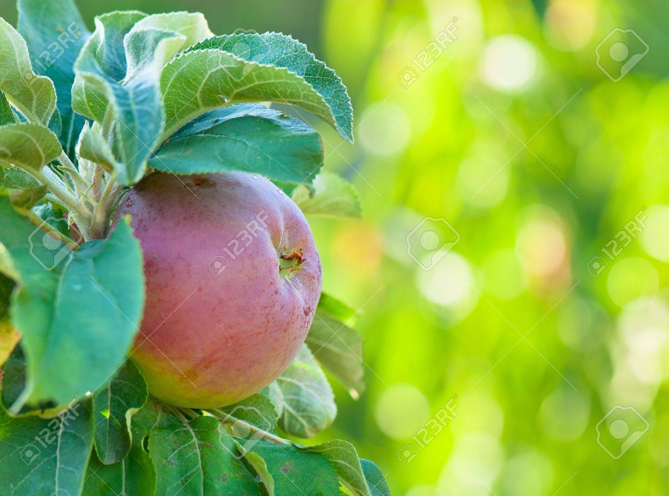 picture ripe apples Stock Photo - 12587651