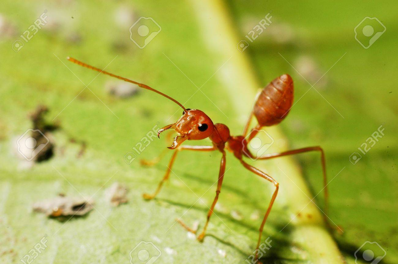 red ant Stock Photo - 14947252