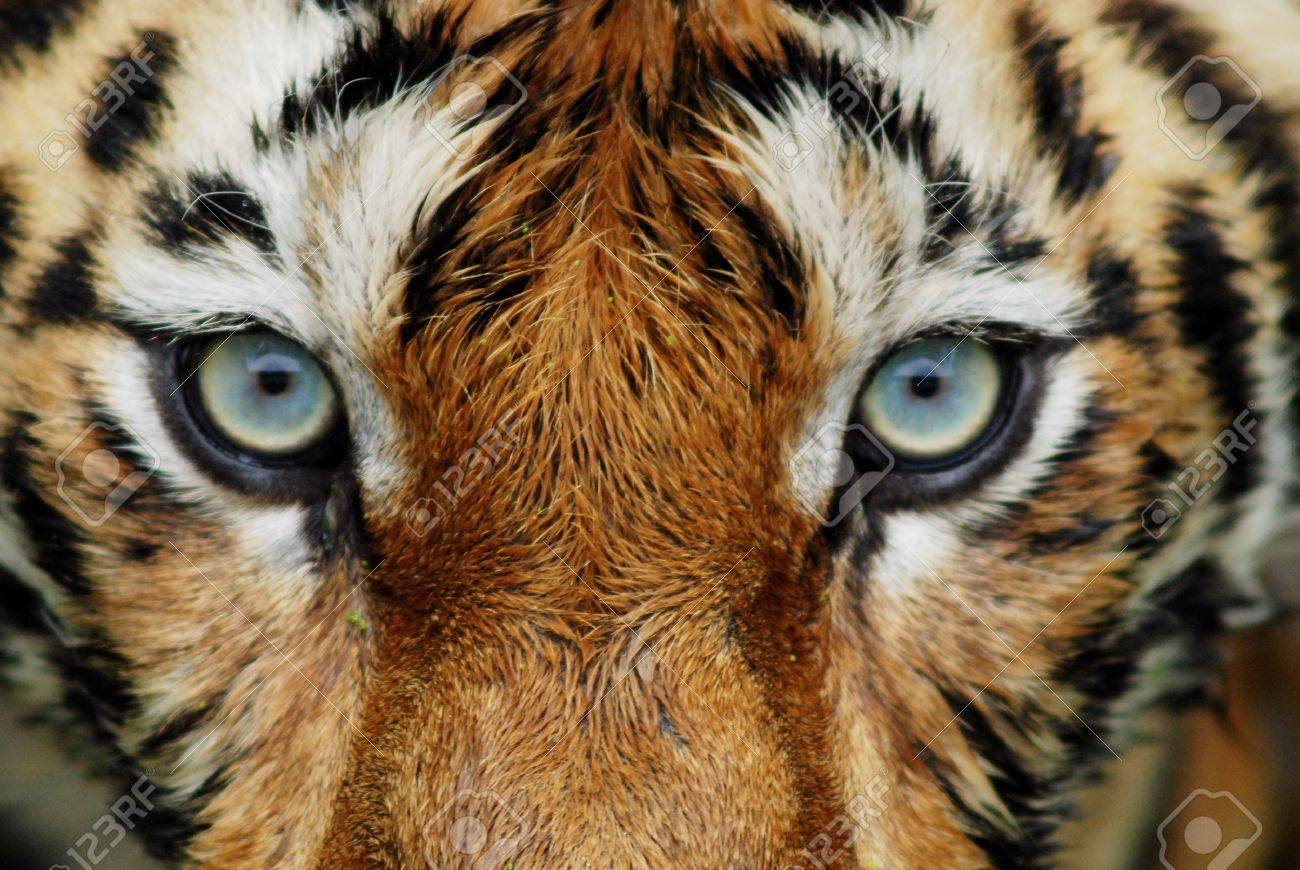 Line Drawing Of A Tiger S Face : Tiger face stock photos royalty free images