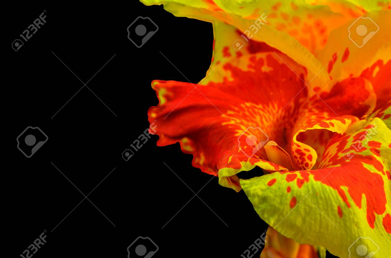 Close Up Canna Flowers On Black Background Stock Photo Picture And
