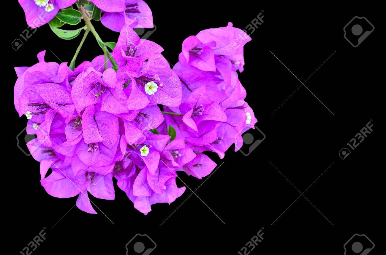 Pink flowering bougainvillea on black background stock photo pink flowering bougainvillea on black background stock photo 52533580 mightylinksfo