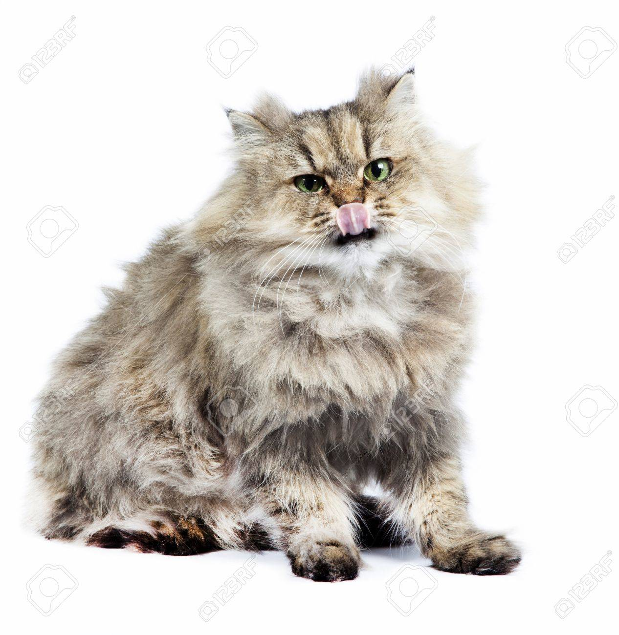 Persian Cat Golden Chinchilla With Tongueon White Background Stock