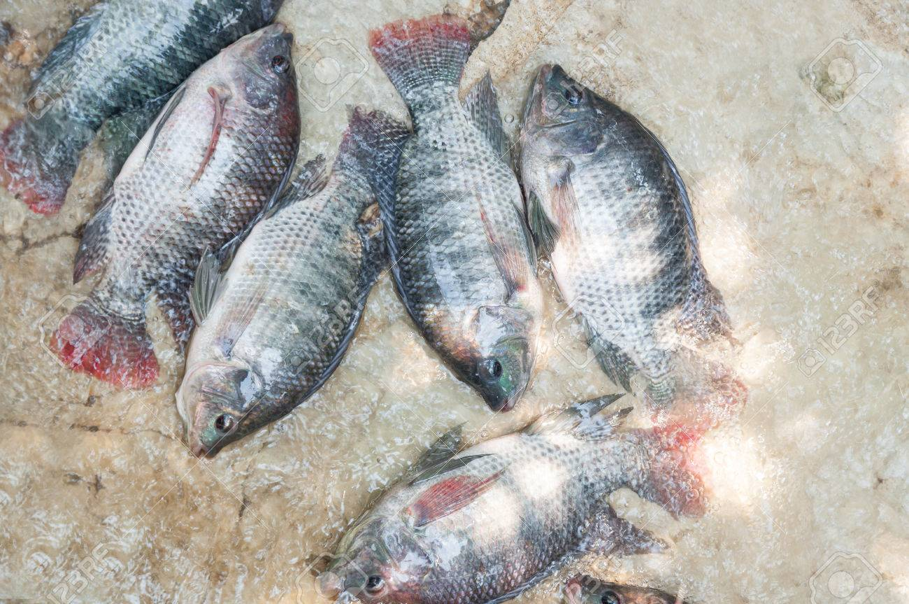 Fresh Tilapia In Water Farmfish The Cage Fish Farming Thailand Stock