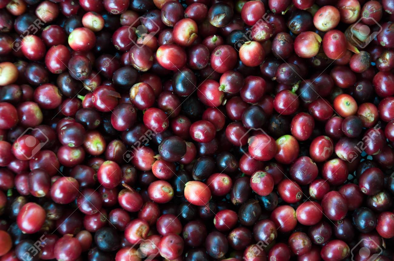 Fresh Coffee Beans Before Roast Coffee Seeds Beans Ripening Stock Photo Picture And Royalty Free Image Image 70809912