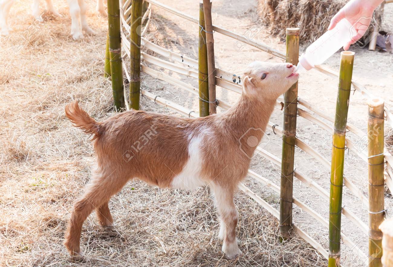 feeding baby goat with milk bottle at farm,Feed the hungry goat