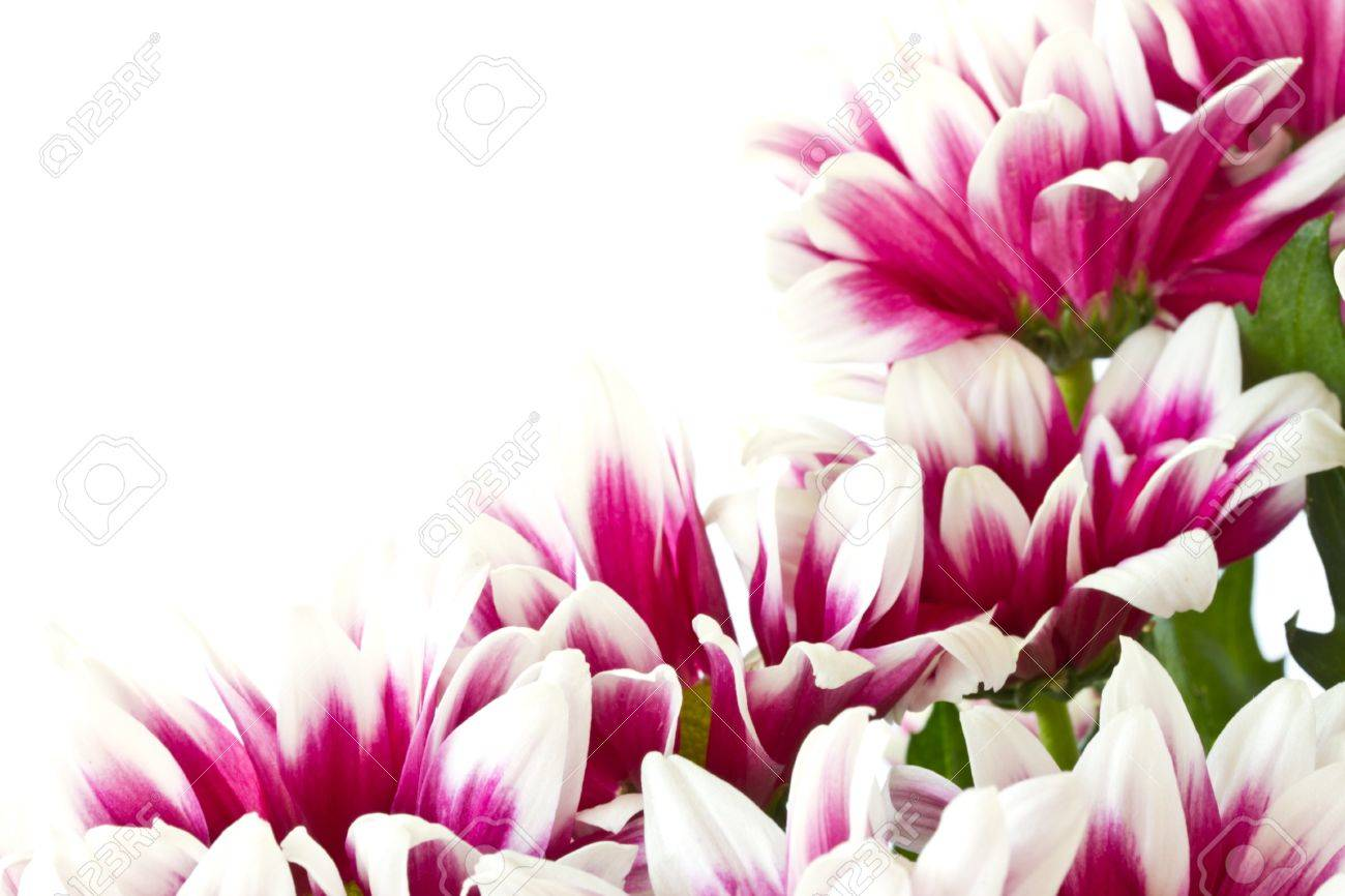 beautiful bouquet of red chrysanthemums on a white background Stock Photo - 10991848