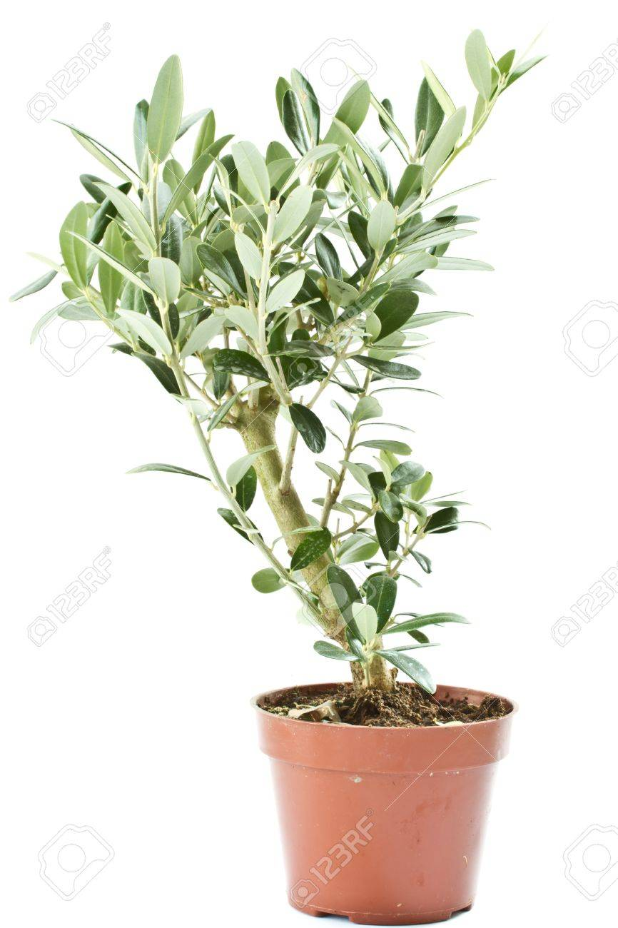 Olive tree in a pot isolated on a white background Stock Photo - 10994390