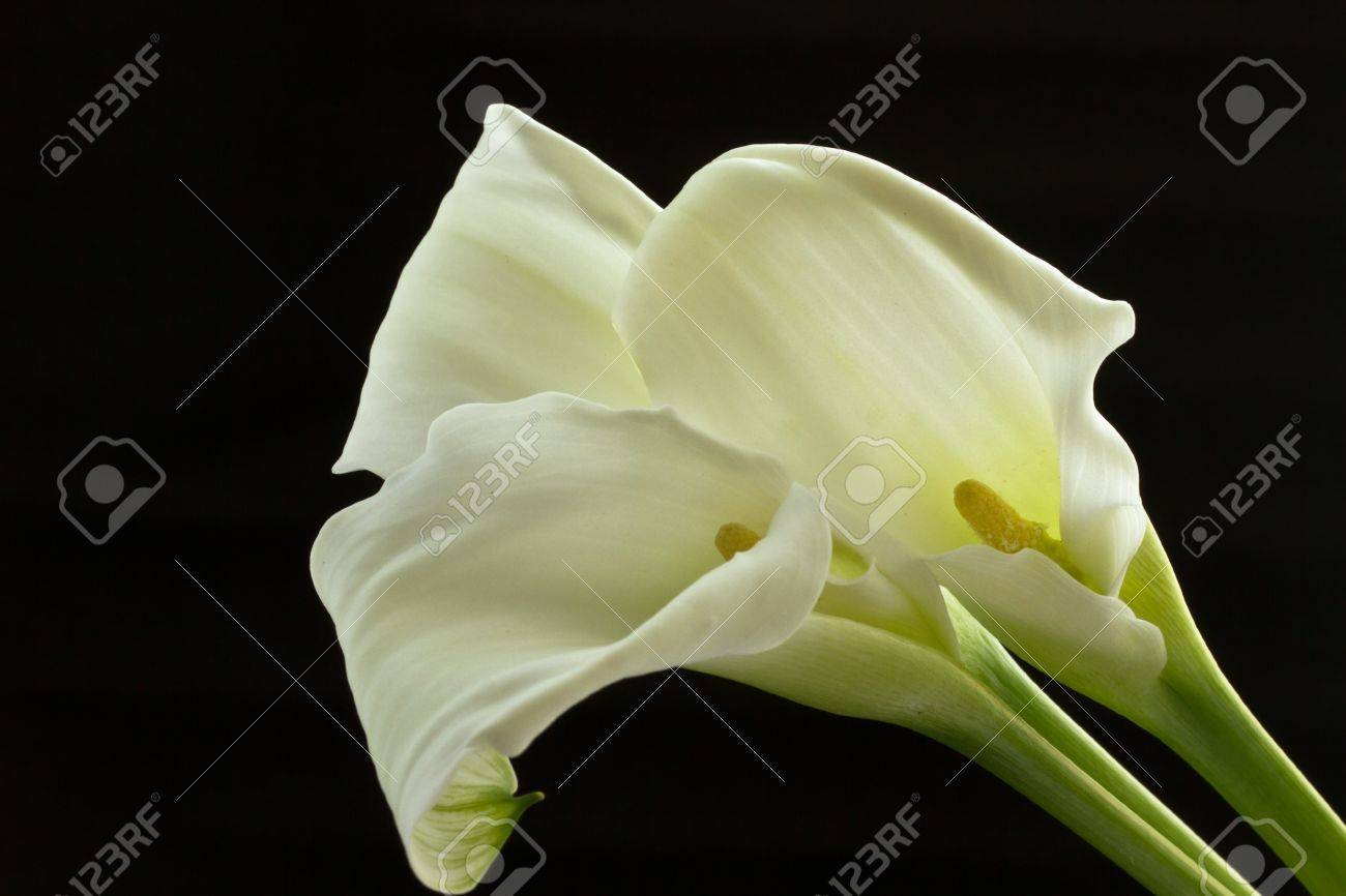 beautiful white calla lilies on a black background Stock Photo - 10998330