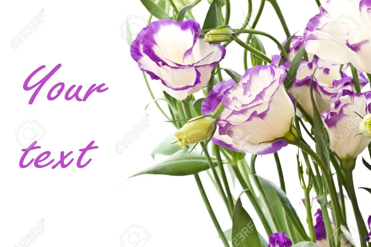 Beautiful purple white flowers on white lisianthus stock photo beautiful purple white flowers on white lisianthus stock photo 11067939 altavistaventures Choice Image