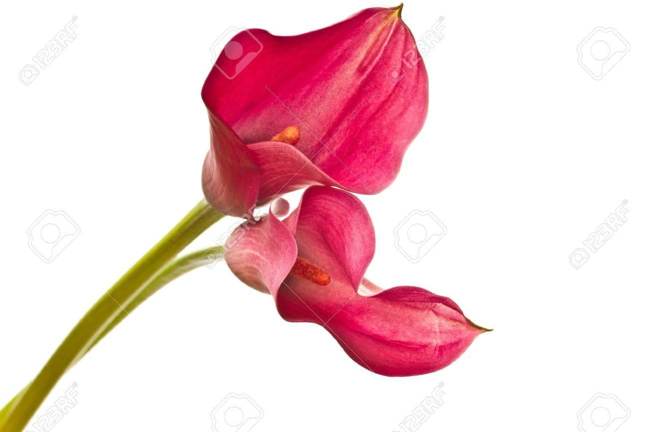 красные калы цветы
