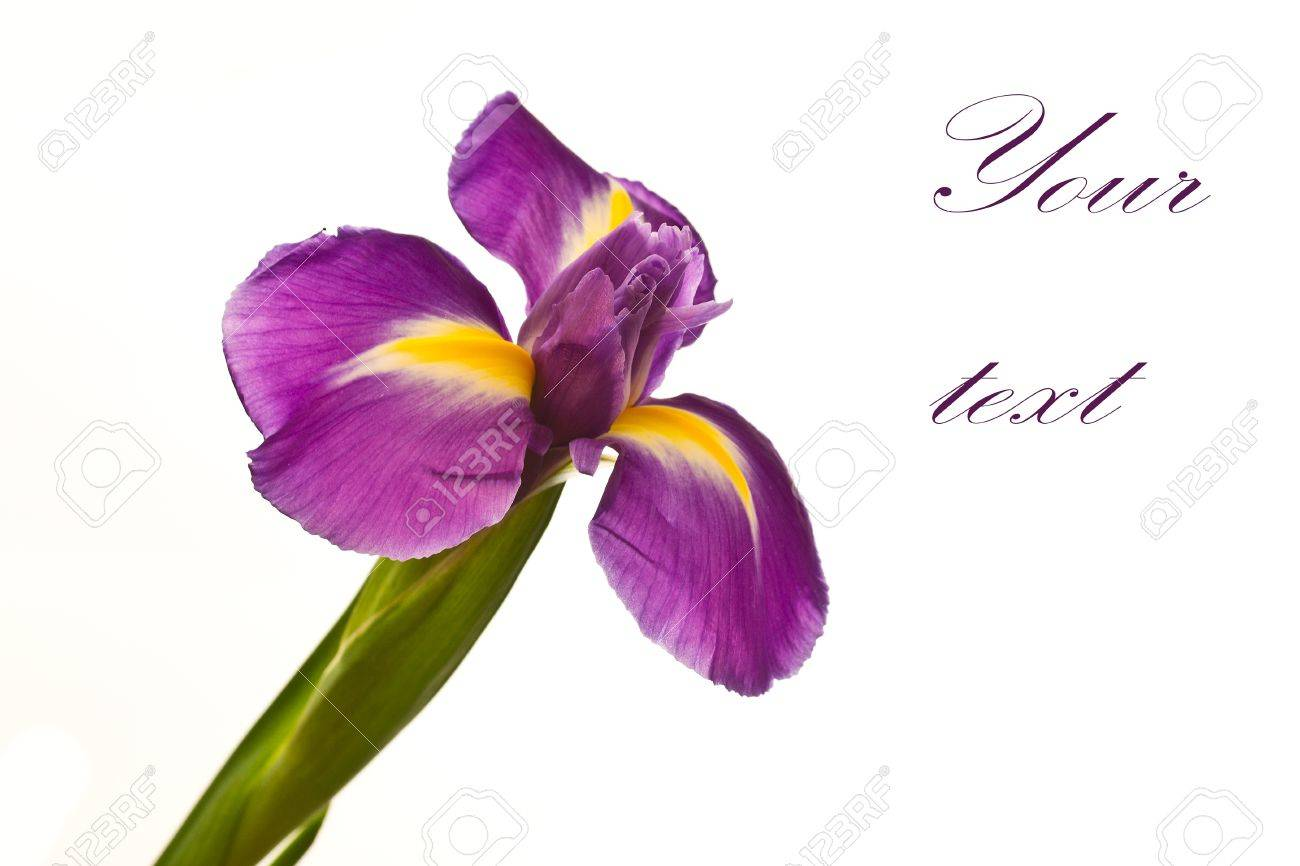 beautiful purple iris flower on a white background Stock Photo - 11554113
