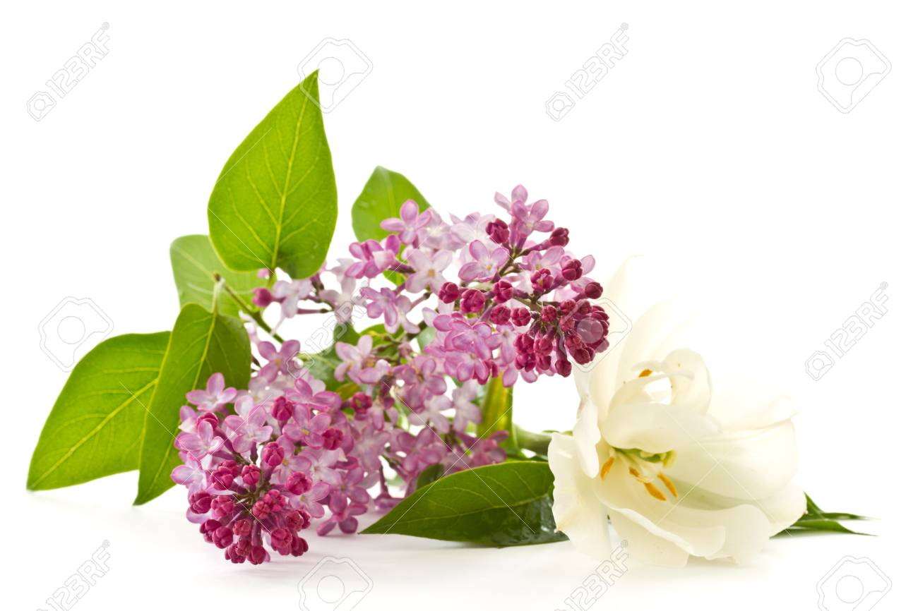 Beautiful flowers blooming lilac on a white background stock photo beautiful flowers blooming lilac on a white background stock photo 13488847 izmirmasajfo Images