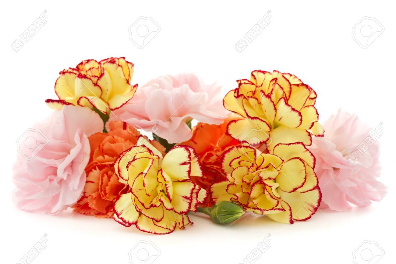 beautiful blooming carnation flowers on a white background Stock Photo - 16727932